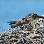 Osprey with Three Chicks